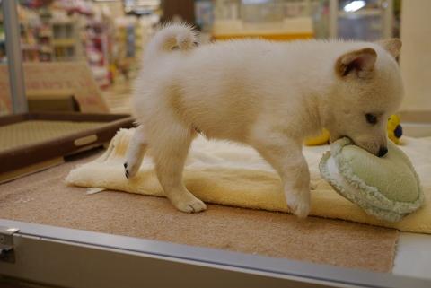 2012.8.18柴犬