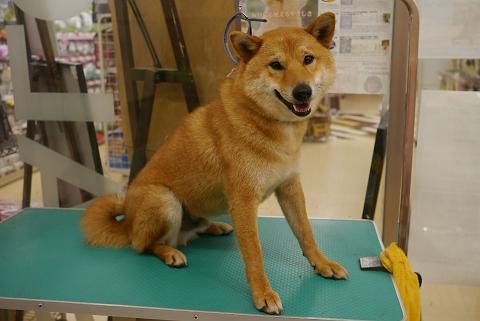 2012.8.26柴犬