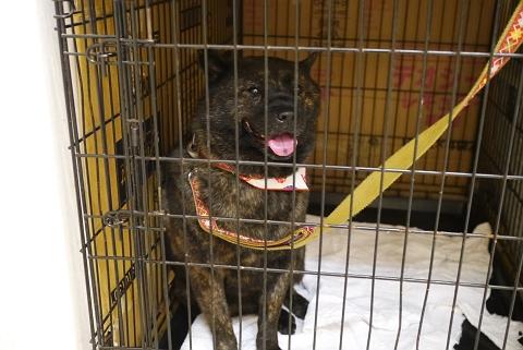 2012.8.27甲斐犬