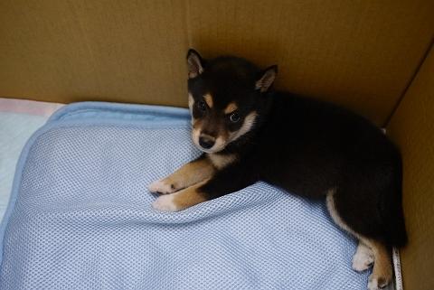 2012.9.26柴犬