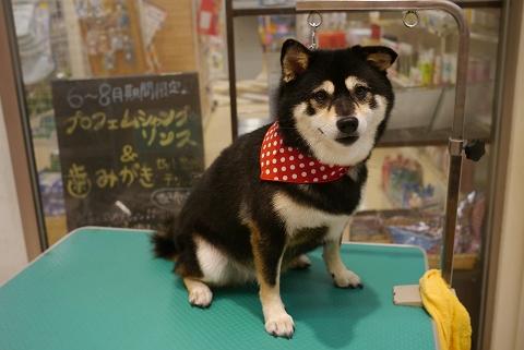 2012.10.4柴犬