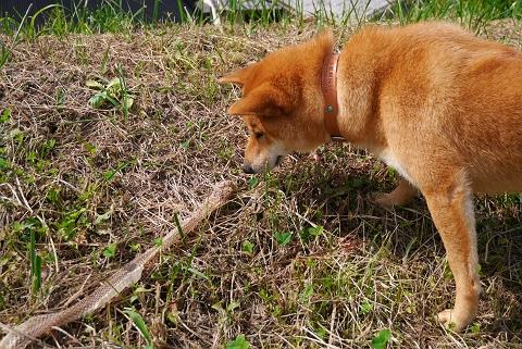 2012.10.5柴犬