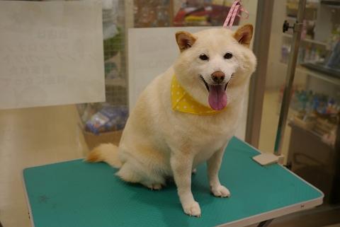 2012.10.12柴犬