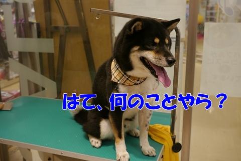 2012.10.14黒柴