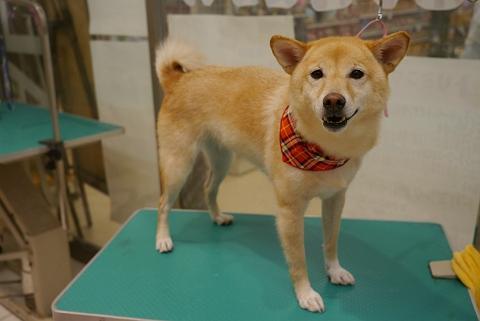 2012.10.22柴犬
