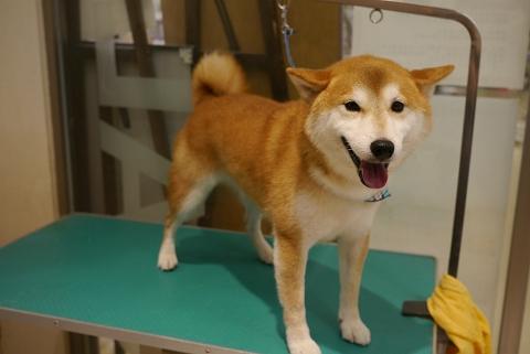 2012.10.27柴犬