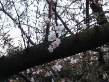 retyのマターリ犬バカな日々-3月末の桜