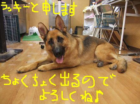 retyのマターリ犬バカな日々-シェパ