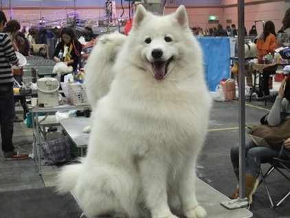 retyのマターリ犬バカな日々-サモエド