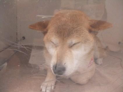 retyのマターリ犬バカな日々-柴