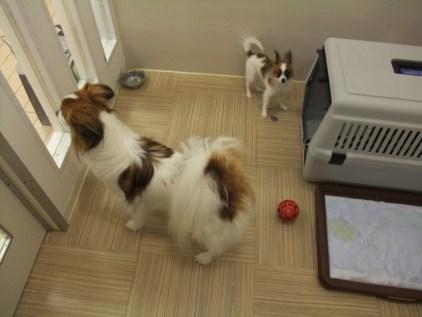 retyのマターリ犬バカな日々-パピヨン