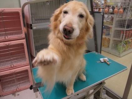 retyのマターリ犬バカな日々-ゴールデン