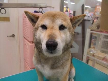 retyのマターリ犬バカな日々-柴犬