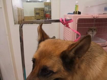 retyのマターリ犬バカな日々-シェパード