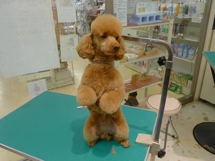 retyのマターリ犬バカな日々-プードル
