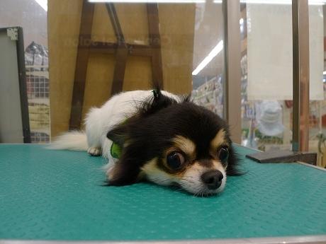 retyのマターリ犬バカな日々-チワワ