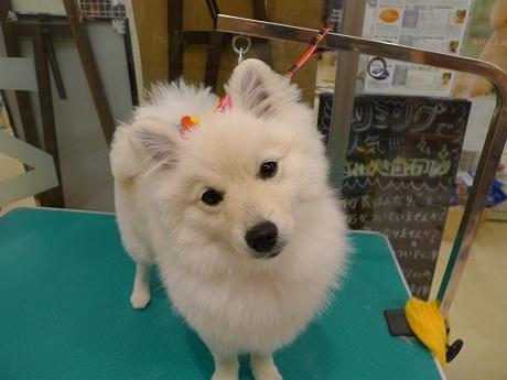 retyのマターリ犬バカな日々-ポメラニアン