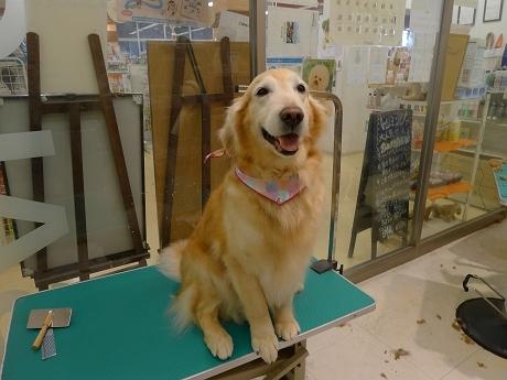 retyのマターリ犬バカな日々-ゴールデンレトリーバー