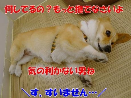 retyのマターリ犬バカな日々-コーギー