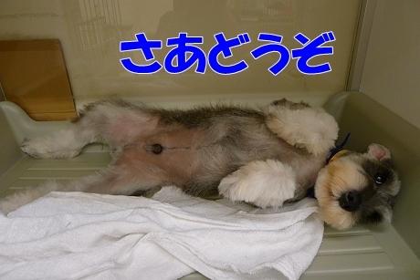 retyのマターリ犬バカな日々-シュナウザー