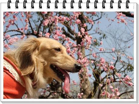 Osaka_castle_Plum_Garden_ribbon.jpg