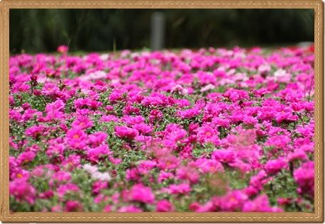 awaji_flower.jpg
