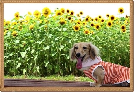 awaji_ribbon_sunflower.jpg