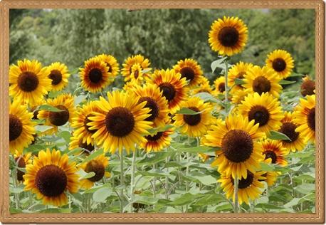 awaji_sunflower.jpg