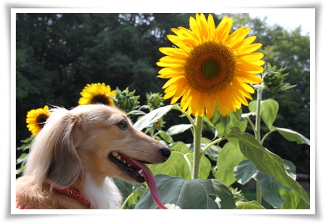 sunflower_1.jpg