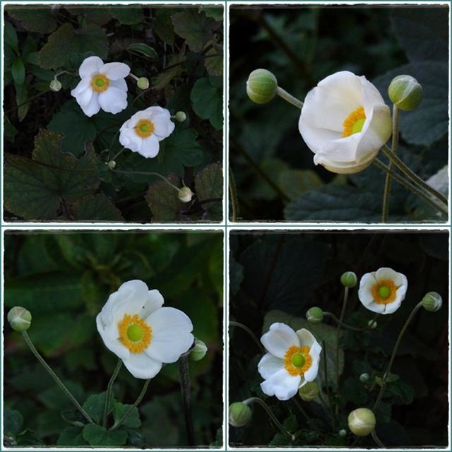 640秋明菊1