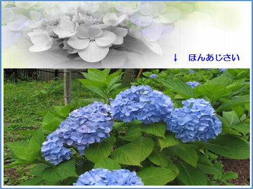 サマーランド・紫陽花祭り