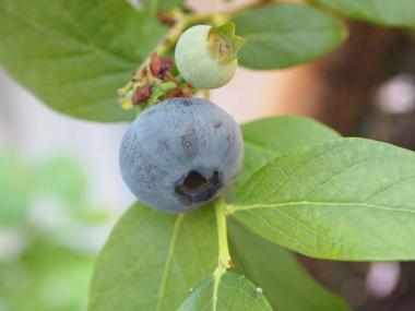 bule berry