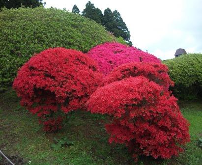 芝桜 つつじ 4 SH3J0593
