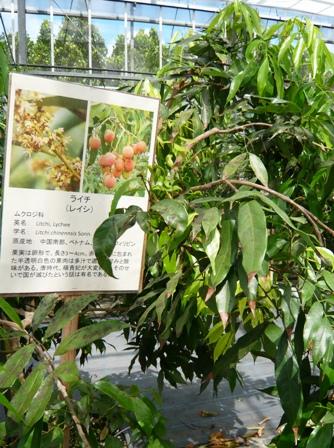 24 熱研一般公開:熱帯果樹ハウス見学(ライチ)