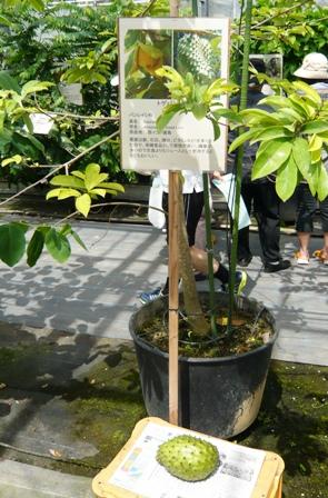 25 熱研一般公開:熱帯果樹ハウス見学(トゲバンレイシ)