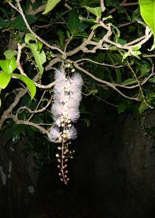 サガリバナ:花2
