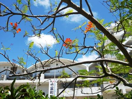 竹富町役場とオオゴチョウ2