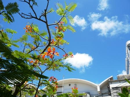 竹富町役場とオオゴチョウ1