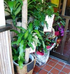 きっちんボルドー:お祝い鉢植え