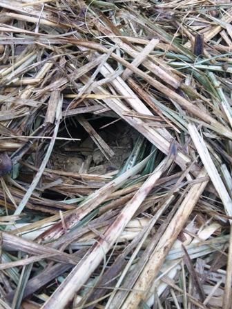 サトウキビ畑:穴