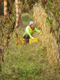 豆の収穫(細川農園)