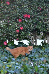 Cat, Camellia-Sasanqua and Snow