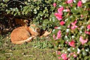 Cat and Camellia-Sasanqua