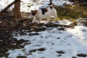Sakura-chan The Cat and Snow