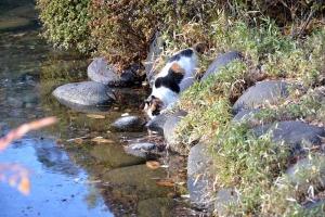 Sakura-chan The Cat Drinking Pond Water