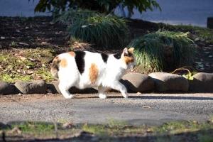 Sakura-chan The Cat Walking Away