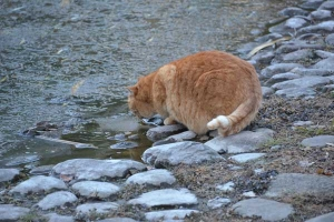 Cat Drinking Icy Water
