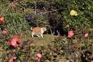 Cat Yawing In The Rose Garden