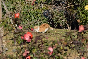 Cat Scratching In The Rose Garden