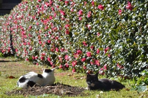 Cats and Camellia-Sasanqua Hedge